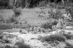 Lion cubs playing with a Leopard tortoise. Lion cubs playing with a Leopard tortoise in black and white in the Kruger National Park, South Africa stock images