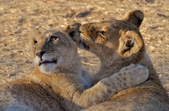 Lion cubs playing Royalty Free Stock Photography