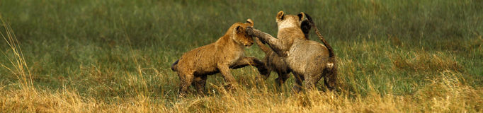 Lion Cubs playing Stock Photos