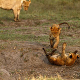 Lion Cubs playing Stock Photography