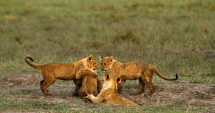 Lion Cubs playing Royalty Free Stock Photos