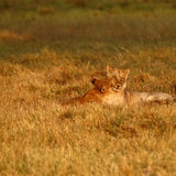 Lion Cubs playing Royalty Free Stock Images