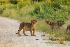 Lion cubs playing in road in Etosha National Park Namibia pause to look at photographer royalty free stock photos