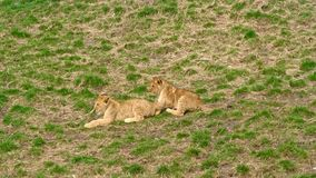 Lion cubs playing and running in grass field stock video footage
