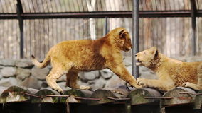Lion cubs playing stock footage