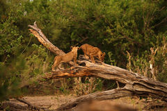 Lion Cubs Playtime. African lion cubs learning how to climb & play Stock Photos