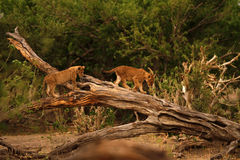 Lion Cubs Playtime II Royalty Free Stock Photo