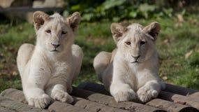Lion cubs portrait Stock Images