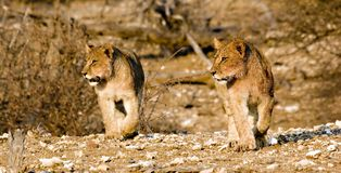Lion cubs on the prowl. In Tuli Block Botswana Royalty Free Stock Photography