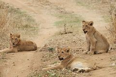Lion cubs. Relaxing in the road in South Africa Stock Images