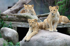 Lion cubs resting. Curious young lion cubs resting Stock Images