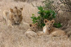 Lion with cubs in grasslands on the Masai Mara, Kenya Africa royalty free stock photo
