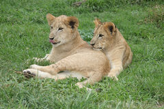 Lion Cubs resting in the sun. Two lion cubs resting on the grass in the sun royalty free stock images