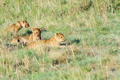 Lion cubs sitting on the grassland Stock Photography