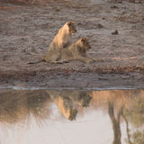 Lion Cubs. Sitting next to the waterhole. Looking off into the distance at prey Royalty Free Stock Photo