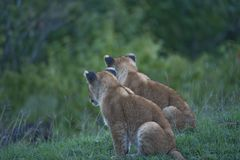 Lion cubs, sitting side by side with backs of heads showing. Lion cubs, sitting side by side, looking to right, Masai Mar, Kenya, Africa royalty free stock images