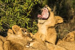 Lion cubs. In South Africa Royalty Free Stock Images