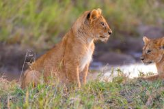 Lion cub from the side, Serengeti, Tanzania. Lion cubs in sunlight, Serengeti, Tanzania, wild cats, water pool royalty free stock photos