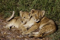 Lion cubs sunning in the cold morning, Masai Mara Stock Photography