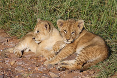 Lion cubs sunning in early morning light Royalty Free Stock Image