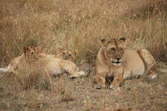 Lion cubs and their mum Royalty Free Stock Photography