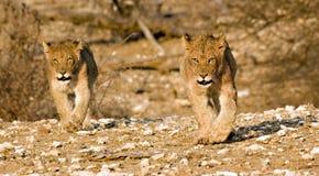 Lion cubs on their round. Lion cubs walking around in Tuli Block Botswana Royalty Free Stock Image