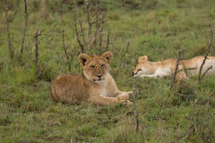Lion Cubs. Two baby lion cubs enjoying the African sun Stock Photo