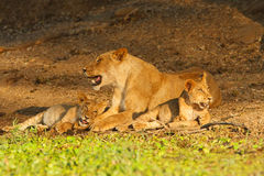 Lion with cubs. Two lion cubs relax with their mother Stock Photography