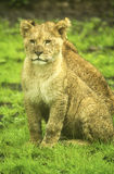 Lion cubs Stock Images