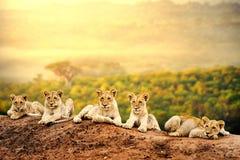Lion cubs waiting together. stock photos