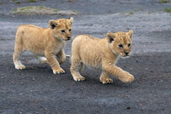 Lion cubs Royalty Free Stock Images