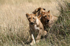 Lion Cubs Walking Through The Grass Royalty Free Stock Images