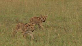 Lion cubs walking towards camera stock video footage