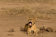 Lion Cup Yawning pequeno fotos de stock royalty free