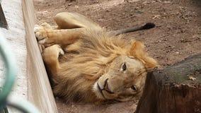 Lion détendant pendant un jour ensoleillé Images libres de droits