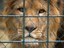 Lion d'Afican Photos libres de droits
