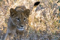 lion d'animal Photographie stock