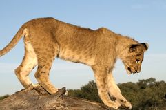 lion d'animal Image libre de droits