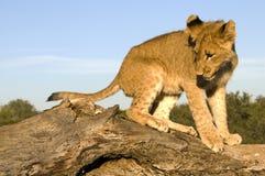 lion d'animal Image stock