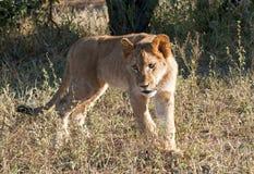 lion d'animal Photographie stock libre de droits