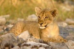 lion d'animal Photo libre de droits