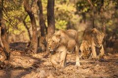 Lion d'Asistic Image stock