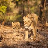 Lion d'Asistic Photos libres de droits