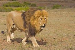 lion d'autorité Photographie stock libre de droits