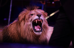 Lion d'hurlement Photo stock