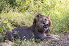 Lion d'hurlement Photos libres de droits