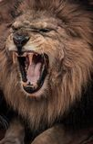 Lion d'hurlement image stock