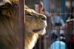 Lion dans des rêves d'une cage de zoo de la liberté Photo libre de droits