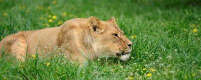 Lion dans l'herbe verte Image libre de droits