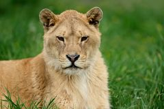 Lion dans l'herbe verte Image stock